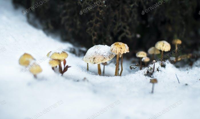 Frozen Mushrooms in the Snow in New Zealand