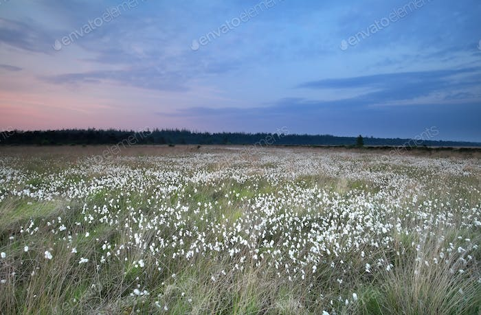 marsh with cotton grass at sunrise