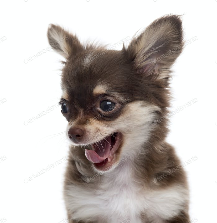Close-up of a Chihuahua yawning puppy, isolated on white