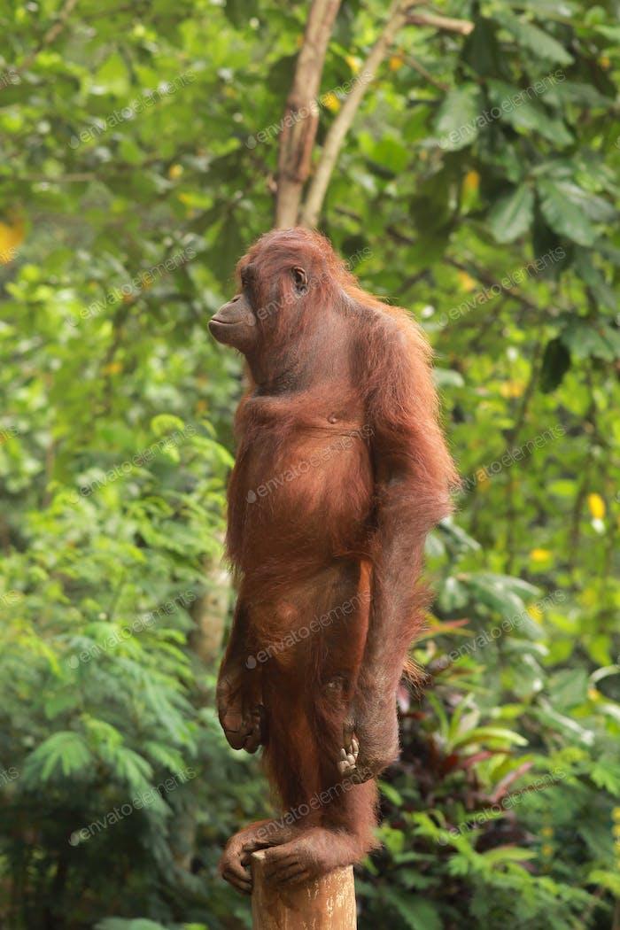Lonely Orang Utan Standing on tree