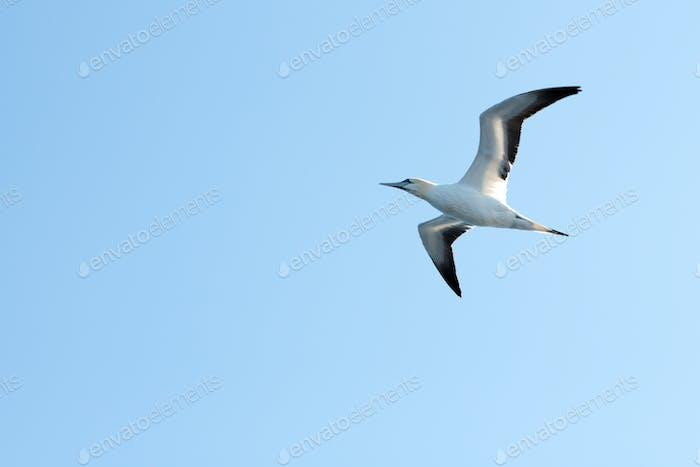 Flying gannet on blue sky