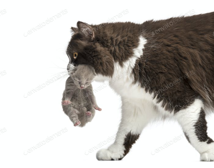 Close-up of a British Longhair carrying a one week old kitten, isolated on white
