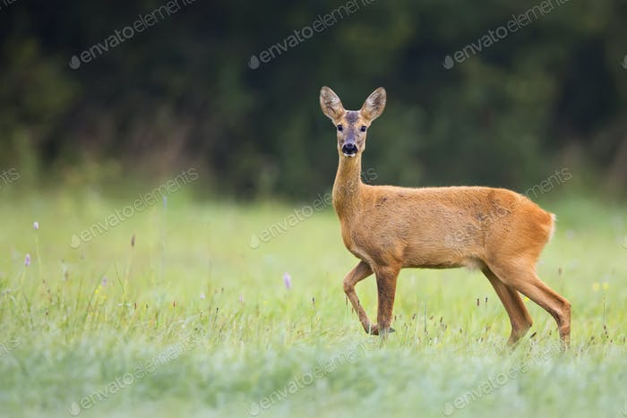 Roe-deer in a clearing