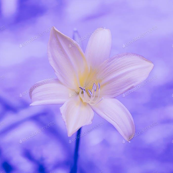 Purple flower. Lily. Plant lover concept