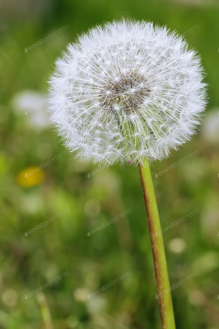 Dandelion with seeds blowing away in the wind