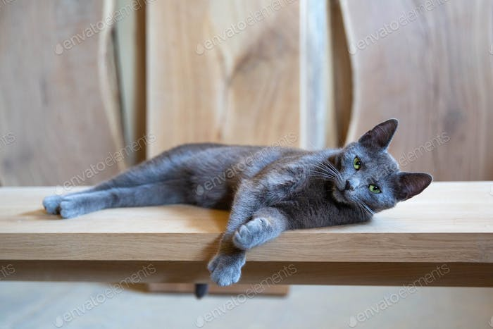 Gray cat resting on the wooden table