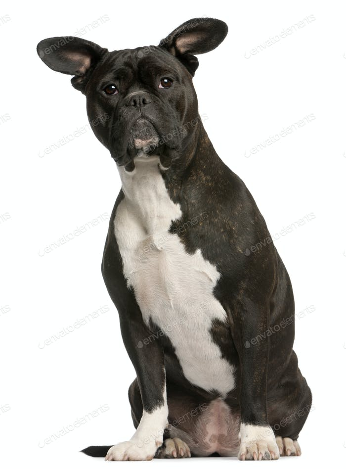 Mixed-breed dog, 3 years old, sitting in front of white background