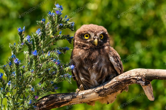 Little owl or Athene noctua perched on branch