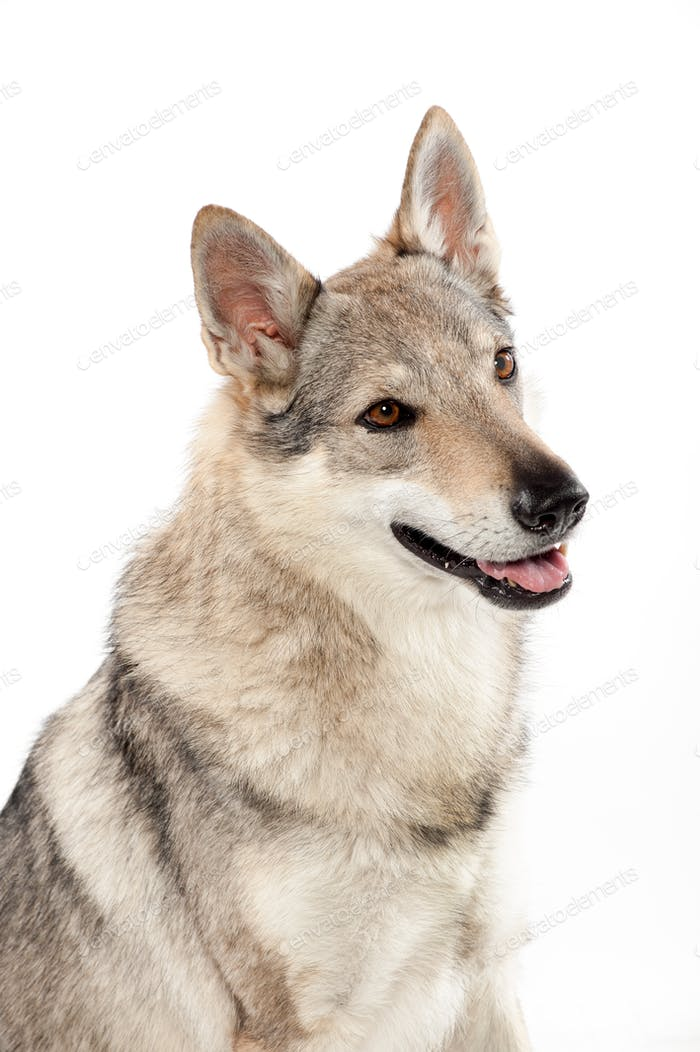 Czechoslovakian wolf dog against white background