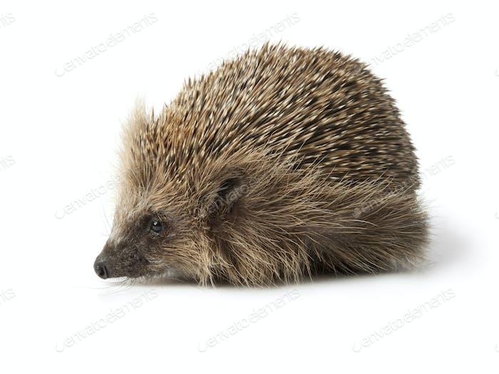 Single hedgehog