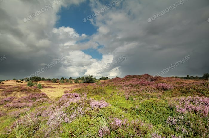 sunshine over hills with flowering heather
