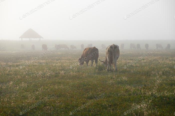 Silhouette der Kuh weiden auf einem Ackerland.