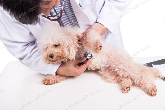 Vet doctor examining poodle dog with stethoscope on white backgr