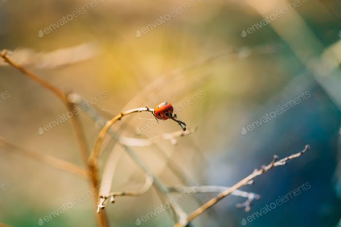 Red Ladybird, Ladybug, And Lady Beetle Or Coccinellidae Beetle S