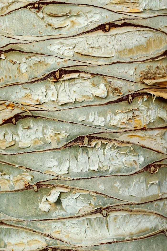 Dragon tree bark