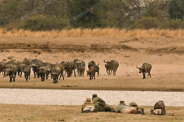 A safari party of people led by a guide, lying on a riverbank watching buffalos.