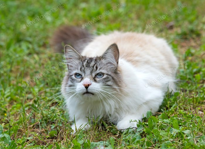 ragdoll cat in garden