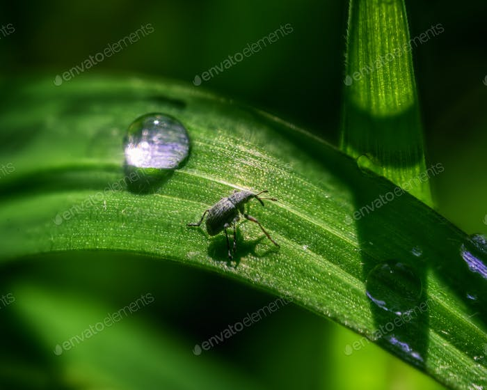 Tiny Beetle on a Blade of Grass next to a Dew Drop