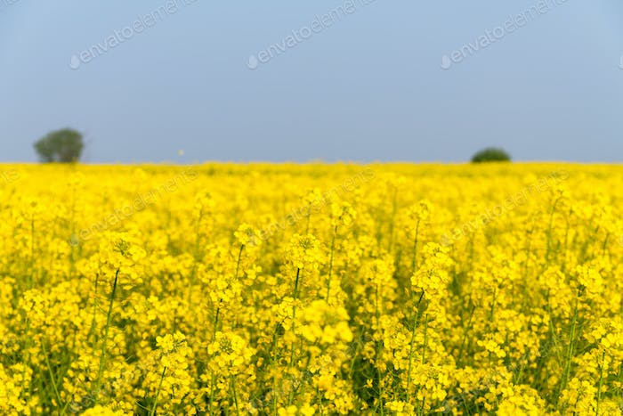 rapeseed flower in spring field