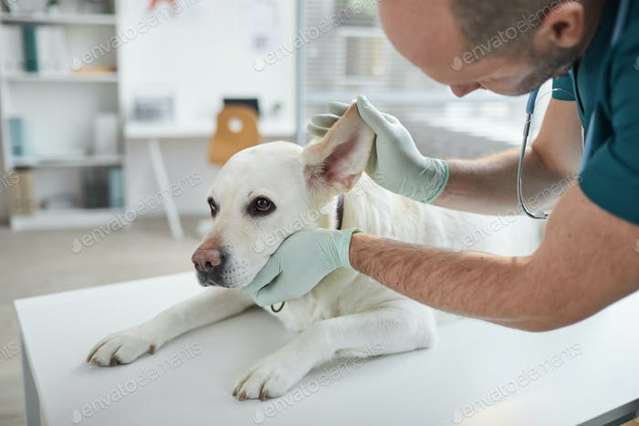 Veterinarian Examining Dog Ears