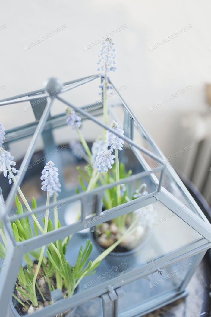 Nahaufnahme von Traubenhyazinthen wächst im Restaurant