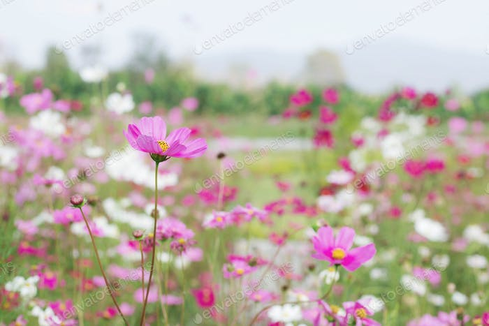 cosmos on plantation