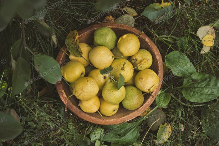 Yellow ripe pears in a bowl on the grass