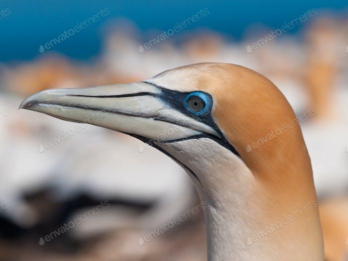 Close up Gannet head