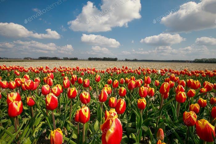 orange Tulpenfeld im Frühjahr