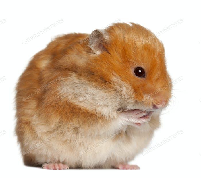 Hamster sitting against white background
