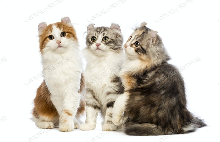 Three American Curl kittens, 3 months old, sitting, looking