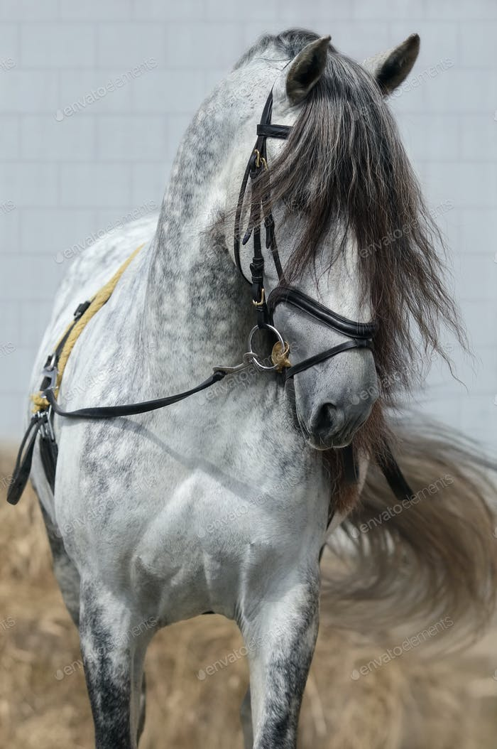 Light gray horse with long dark gray forelock.