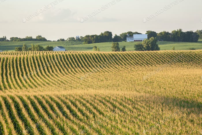 Corn field and barn on rolling hills in late summer sunlight