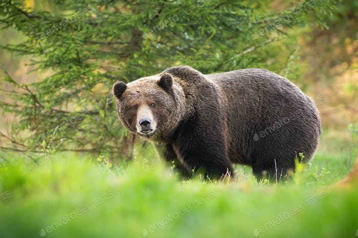 Territorial brown bear male looking into camera on glade with green grass