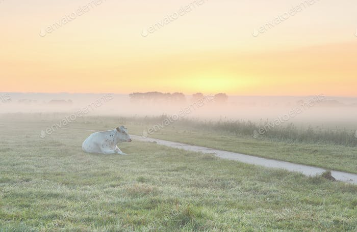 relaxed milk cow on misty pasture
