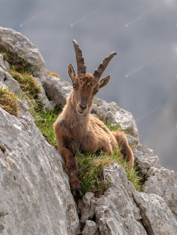 Alpine ibex in the mountains of Julian Alps