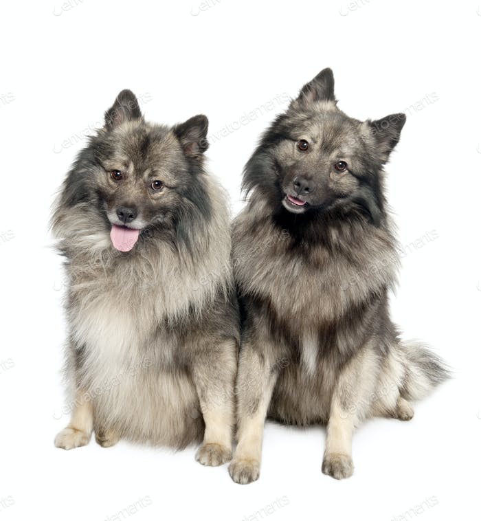 couple of two Keeshond (6 and 2 years old)