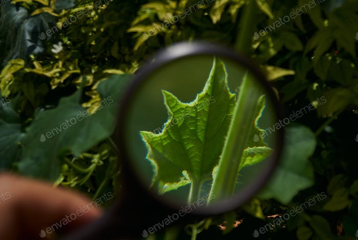 Looking at a little green leaf through a magnifying glass