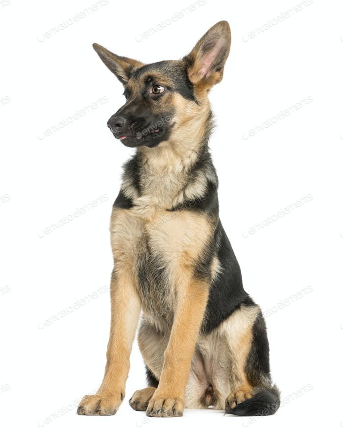 Surprised young German shepherd sitting, looking away, 6 months old, isolated on white
