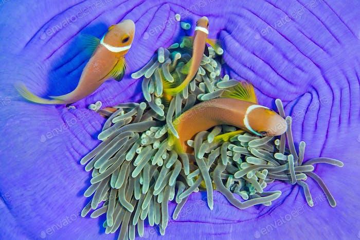 Schwarzflossen-Anemonenfisch, Prächtige Seeanemone, Süd-Ari-Atoll, Malediven