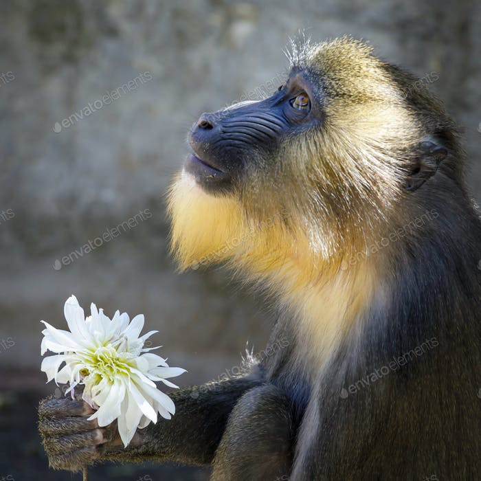 Mandrill monkey with Dahlia flower, close up view