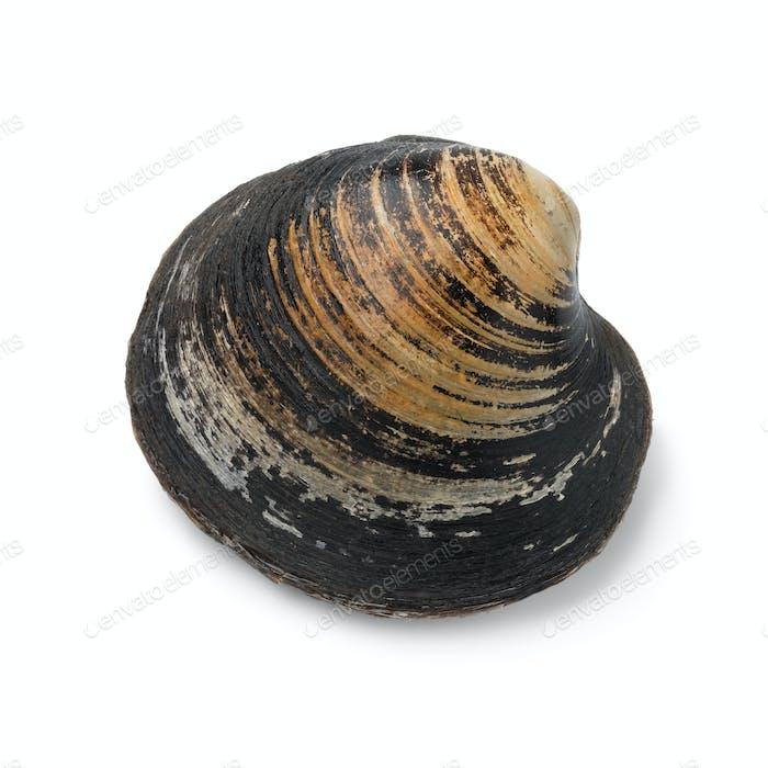 Einzelne Spisula Solida, Surf-Muschel
