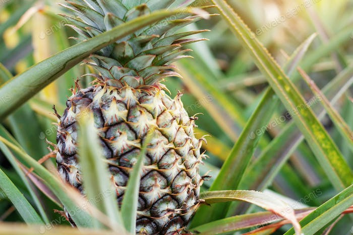 pineapple at farm