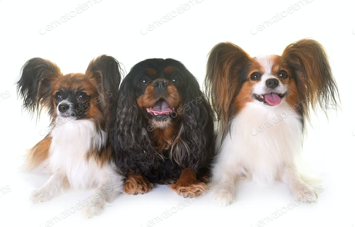 cavalier king charles and papillon dogs