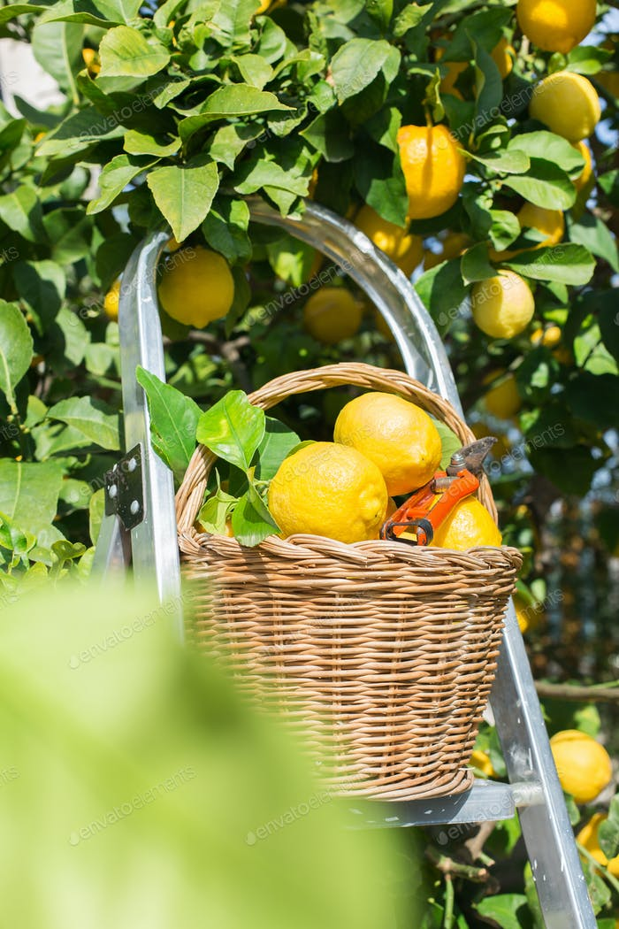 Basket with fresh organic lemons in the orchard, harvesting, picking