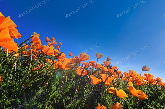Poppy Flower under the blue sky and sun with lens flare
