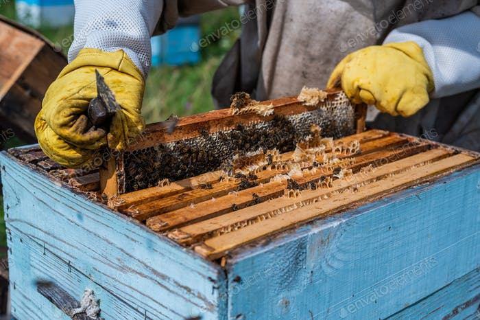 Beekeepers putting honeycomb trays with honeybees back into the beehive, beekeepers preparing to