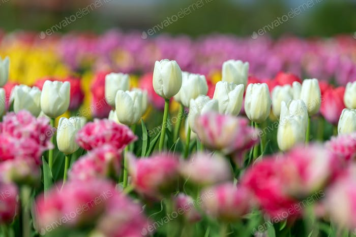 Spring fields of blooming tulip. Beauty outdoor scene