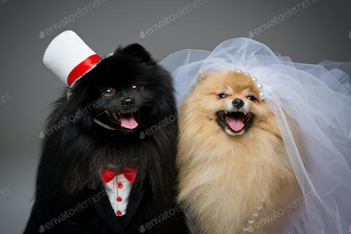 Spitz dog wedding couple