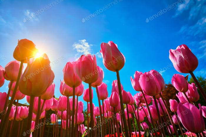 Blooming tulips against blue sky low vantage point